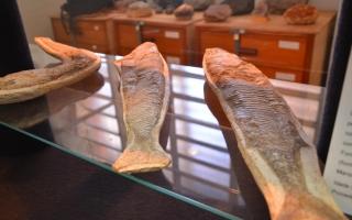 fósseis de peixe museu